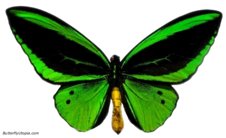 157-green_birdwing_butterfly